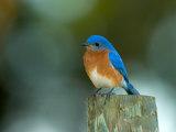 Male Eastern Bluebird on Fence Post, Florida, USA Fotografisk tryk af Maresa Pryor