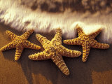 Sunset and Starfish on Surf Line, Maui, Hawaii, USA Photographic Print by Darrell Gulin