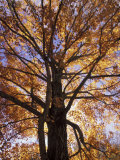 Red Maple Tree, Kentucky, USA Photographic Print by Adam Jones