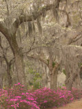 Bonaventure Cemetery with Moss Draped Oaks, Dogwood and Azalea, Georgia, USA Photographic Print by Joanne Wells