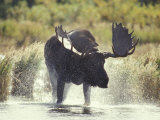 Moose Shower in Katmai National Park, Alaska, USA Photographic Print by Howie Garber