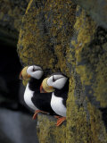 Horned Puffins on Ledge of Lichen, Pribilofs, St. Paul Island, Alaska, USA Photographic Print by Hugh Rose