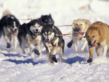 Iditarod Dog Sled Racing through Streets of Anchorage, Alaska, USA Stampa fotografica di Paul Souders