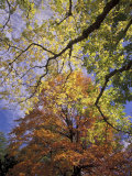 Skyward View of Autumn Colors, Kentucky, USA Photographic Print by Adam Jones