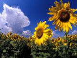 Sunflowers, Colorado, USA Photographic Print by Terry Eggers
