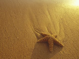 Starfish and Sand at Sunset, Maui, Hawaii, USA Photographic Print by Darrell Gulin