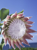 King Protea with Blue Sky, Maui, Hawaii, USA Photographic Print by Darrell Gulin
