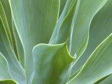 Agave Plant, Maui, Hawaii, USA Fotografisk tryk af Julie Eggers