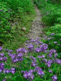 Footpath and Purple Phacelia Flowers, Shaker Landing, Kentucky, USA Photographic Print by Adam Jones