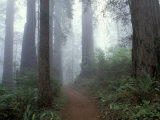 Damnation Trail in Fog, Redwoods State Park, Del Norte, California, USA Photographic Print by Darrell Gulin