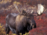 Moose in Autumn Alpine Blueberries, Denali National Park, Alaska, USA Photographic Print by Hugh Rose