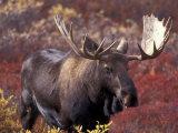 Moose in Autumn Alpine Blueberries, Denali National Park, Alaska, USA Photographic Print by Hugh Rose