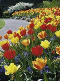 Tulips Buchart Garden Victoria British Columbia, Canada Photographic Print