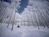 Zjazd na nartach między drzewami Reprodukcja zdjęcia