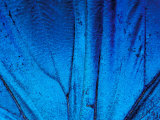 Detail of Blue Morpho Wing, Barro Colorado Island, Panama Photographic Print by Christian Ziegler