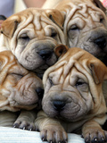 Chineses Shar-Pei Puppies are Displayed for Sale Fotografisk tryk