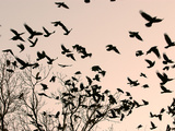 Crows Fly Over a Tree Where Others are Already Camped for the Night at Dusk in Bucharest Romania Photographie