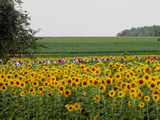 The Pack Rides Past a Sunflower Field During the Sixth Stage of the Tour De France Lámina fotográfica