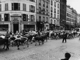 A Herd of Cattle is Driven Along a Paris Streen Photographic Print