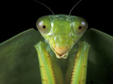 Praying Mantis, Barro Colorado Island, Panama Photographic Print by Christian Ziegler