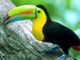 Keel Billed Toucan with a Cicada, Borro Colorado Island, Panama Fotografie-Druck von Christian Ziegler