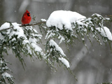 A Cardinal Sits on a Snow-Covered Branch Photographic Print