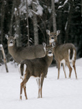 A Small Herd of White-Tailed Deer Wait at the Edge of the Woods Photographic Print