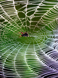 A Banana Spider's Web Photographic Print