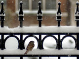 A Sparrow Surveys its Surroundings as It Stops to Rest on a Snow-Covered Fence Photographie