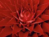 Large Flower of the Pineapple Family, Borro Colorado Island, Panama Photographic Print by Christian Ziegler