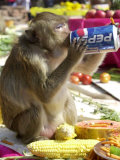 A Monkey Drinks Cola Photographic Print