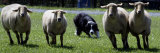 A Border Collie Demonstrates Sheep Herding Reproduction photographique