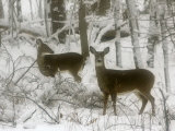Two White-Tail Deer Stop for a Moment Photographic Print