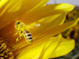 A Bee Covered with Yellow Pollen Approaches the Blossom of a Sunflower July 28, 2004 in Walschleben Lámina fotográfica