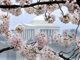 The Cherry Blossoms are in Full Bloom Along the Tidal Basin in Washington Photographic Print