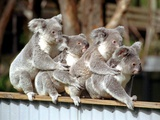 Four Australian Koalas are Shown on a Fence at Dreamworld on Queensland's Gold Coast Photographic Print