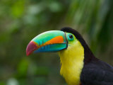Keel-billed Toucan on Tree Branch, Panama Photographie par Keren Su