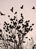 Crows Fly Over a Tree Where Others are Already Camped for the Night at Dusk in Bucharest Romania Papier Photo