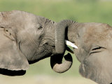 Two Elephant Calves Play, Jan. 4, 2006 in the Amboseli National Park in Kenya Photographic Print