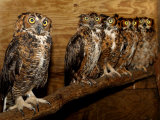 Five Great Horned Owls Photographic Print
