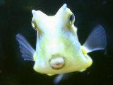 The Lactoria Cornuta, or Cow Fish Fotografisk tryk