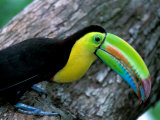 Keel-Billed Tucan with Cicada Approaching Nest, Barro Colorado Island, Panama Photographic Print by Christian Ziegler