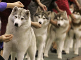 Siberian Huskies Line up During Conformation Judging Photographic Print