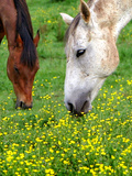 Horses Graze in a Green Field of Wildflowers Photographic Print