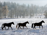 Three Mares Trod Back to Their Stable after a Run Across Snow Covered Fields Photographic Print
