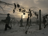 Vineyard Workers Harvest Frozen Vidal Grapes at Hunt Country Vineyards Photographic Print