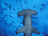 Hammerhead Shark from Below, Galapagos Islands, Ecuador Photographic Print by Stuart Westmoreland