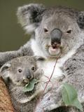 An 8-Month-Old Koala Joey Fotografisk tryk