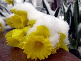 A Light Layer of Snow Forces a Daffodil to the Ground - Fotografik Baskı