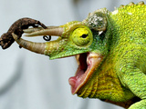 A Newly Born Jackson&#39;s Chameleon Rests on its Dad&#39;s Horns Photographie
